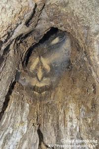 sierokosz_ewa_uwięzione_w_drzewie.jpg